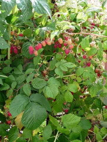 raspberry-bush1